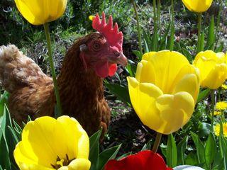 Paxo in tulips