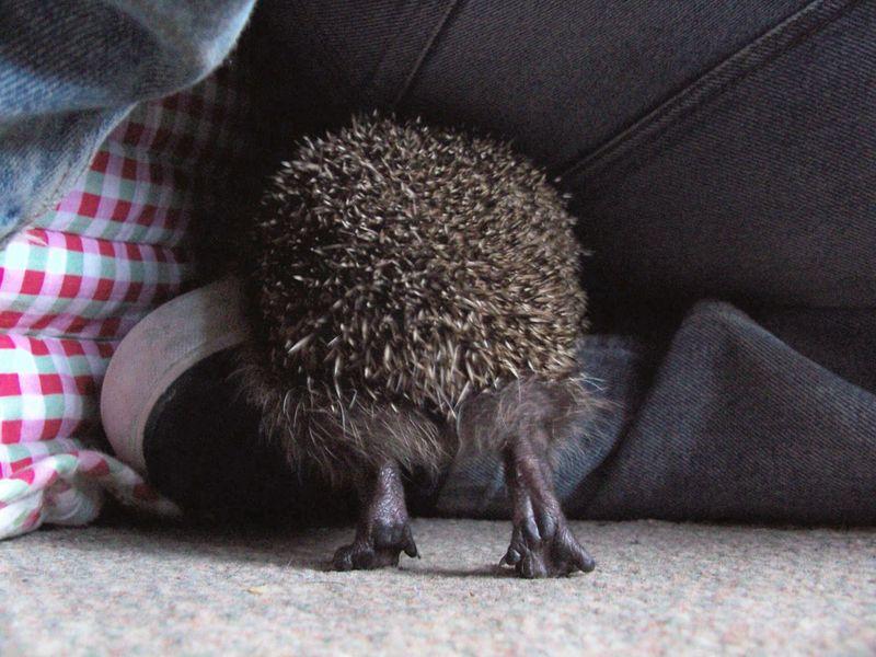 Blossom the hedgehog