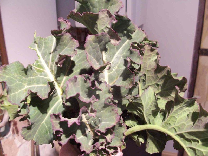Brocolli leaves