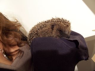 Poppy hedgehog