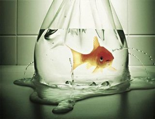 Goldfish in a leaking bag