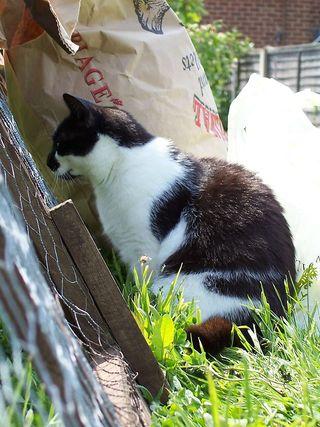 Cat Georgie watching chickens