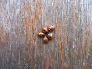 Ladybirds huddled