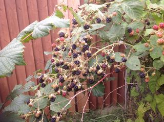 Blackberries in the garden