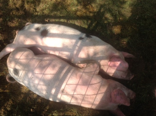 Pigs relaxing