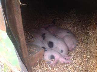 Pigs asleep